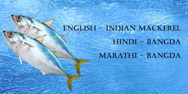 Bangda-(Indian-Mackerel)