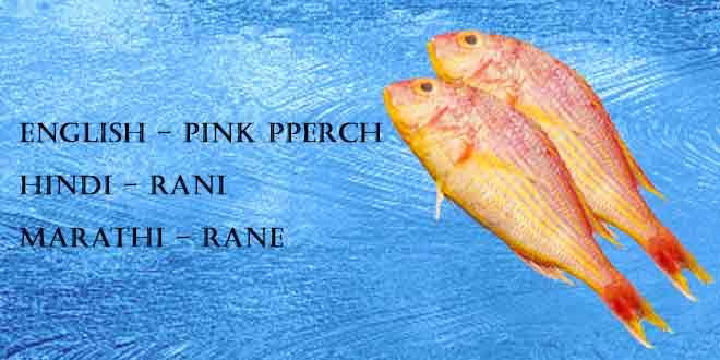 Rani-(Pink-perch)